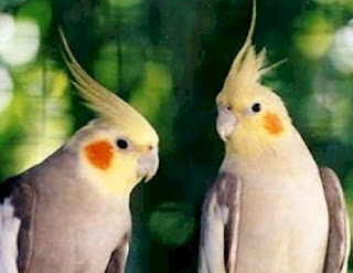 juoan and jett my cockatiel birds