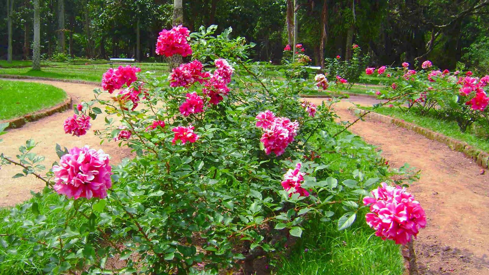 plantio de rosas em jardim : plantio de rosas em jardim ? Doitri.com