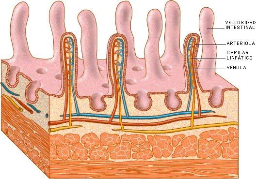 madagascar: Vellosidades Intestinales Y Absorción Intestinal