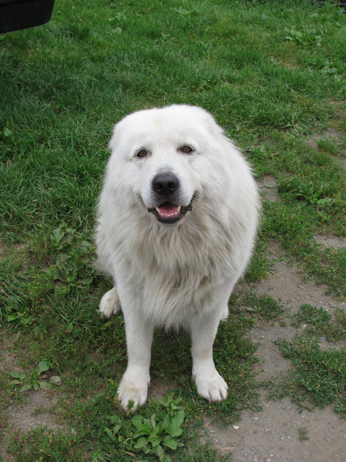 Breed Of Dog That Looks Like A Polar Bear Looks like a polar bear White Dog That Looks Like A Polar Bear
