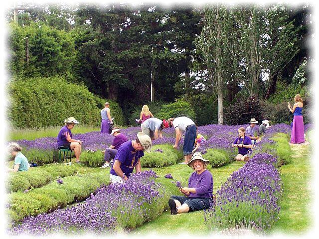 Fotografije lavande i svega,što je vezano za nju. - Page 2 Lavender-harvesters