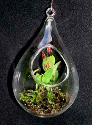 The Fern And Mossery Mini Orchid Teardrop Terrarium From