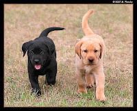 British vs American Labrador Retriever http://chelseabelle-moosek.blogspot.com/2010/02/american-vs-english.html