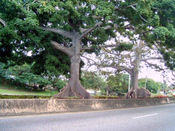 Arboles Centenario en Arecibo