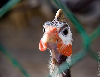 Цесарка. Птица с глупым лицом.