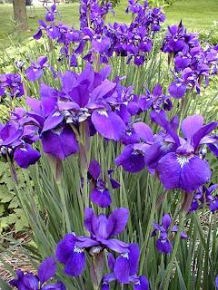 [Iris.jpg]