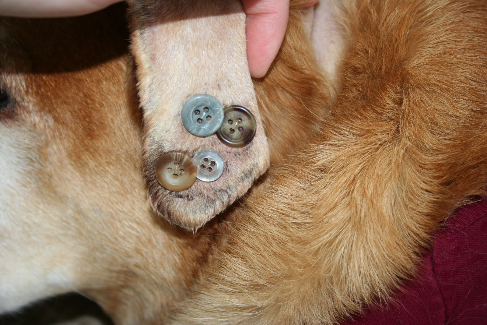 Weird Mole On Dogs Ear