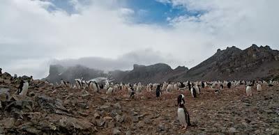 Gentoo_Penguins_Elephant_Island_29