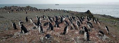 Gentoo_Penguins_Elephant_Island_28