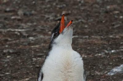 Gentoo_Penguins_Elephant_Island_24