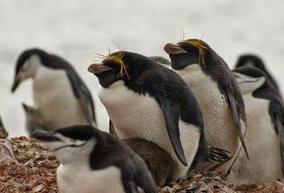 Gentoo_Penguins_Elephant_Island_16