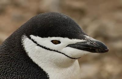 Gentoo_Penguins_Elephant_Island_17