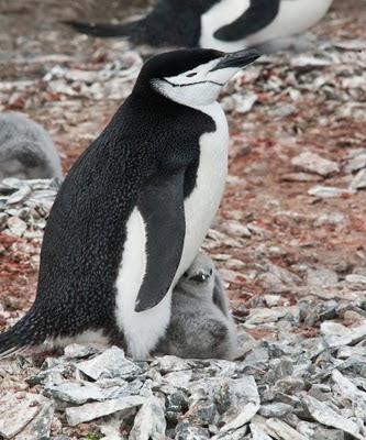 Gentoo_Penguins_Elephant_Island_12