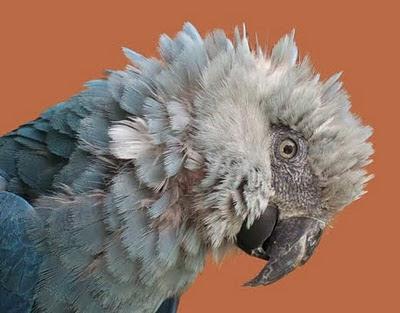 Spix's_Macaw
