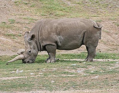 West_African_Black_Rhinoceros