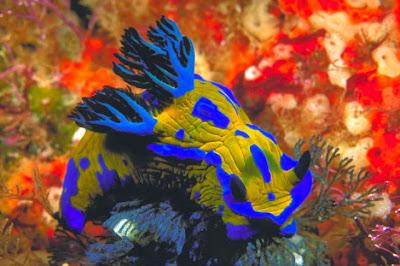 Nudibranch_Amazing_Sea_Slugs_11