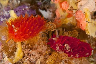 Nudibranch_Amazing_Sea_Slugs_8