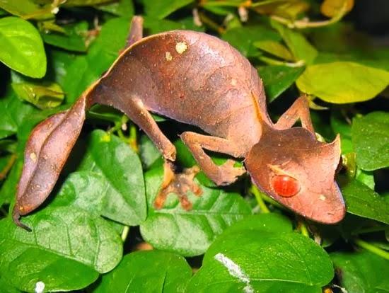 Satanic leaf-tailed gecko. Uroplatus phantasticus