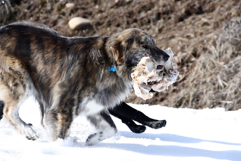 Marley running through the snow carrying a large bone from a deer pelvis in his mouth.
