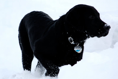 Rafferty stands out in a field of snow.  His smooth black coat shines and glistens as he pauses for a moment to look beyond the camera, conveying a sense of motion with one paw raised.  His dark chocolate eyes can just barely be seen.