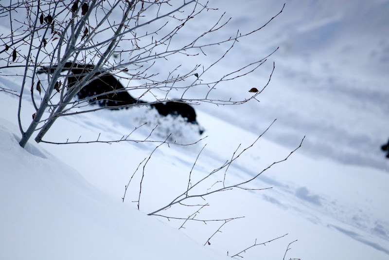 Through a spray of aspen branches a black dog can be seen running through the snow on a sunny slope