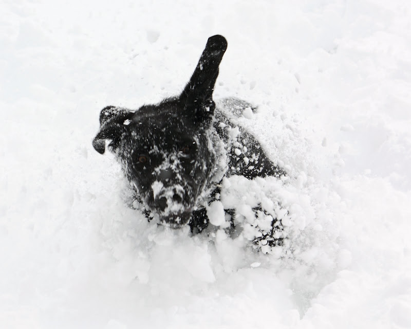 Raffery with his ears flying in the air explodes out on the snow in a cloud of white