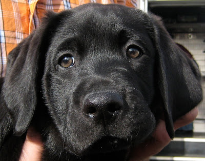 sterling a 9.5 week old black lab puppy looks slightly off into the distance with a close up shot of his face