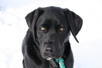 Sterling a black lab with a blocky head and amber eyes looks slightly off in the distance while standing on a bright field of snow the only color other than black is his bright amber eyes and green ID tag holder.