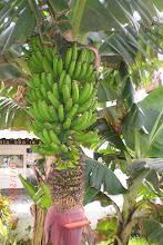 Banaania