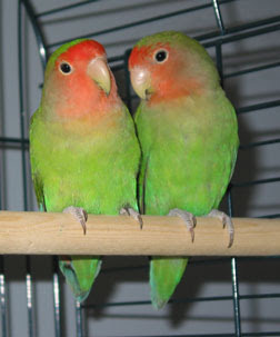 Lovebirds - 3