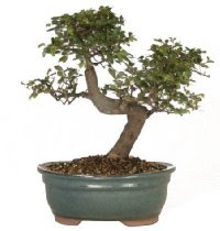 Brussel's Cina CT9005CE Elm Bonsai