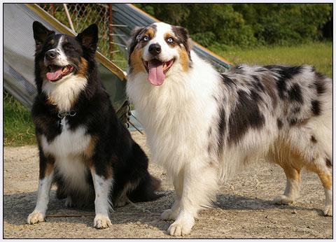 db+australian+shepherd+dog+breeds+001.jpg