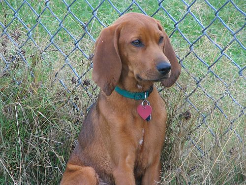 Dog Breed Gallery Coonhound Pictures Gallery