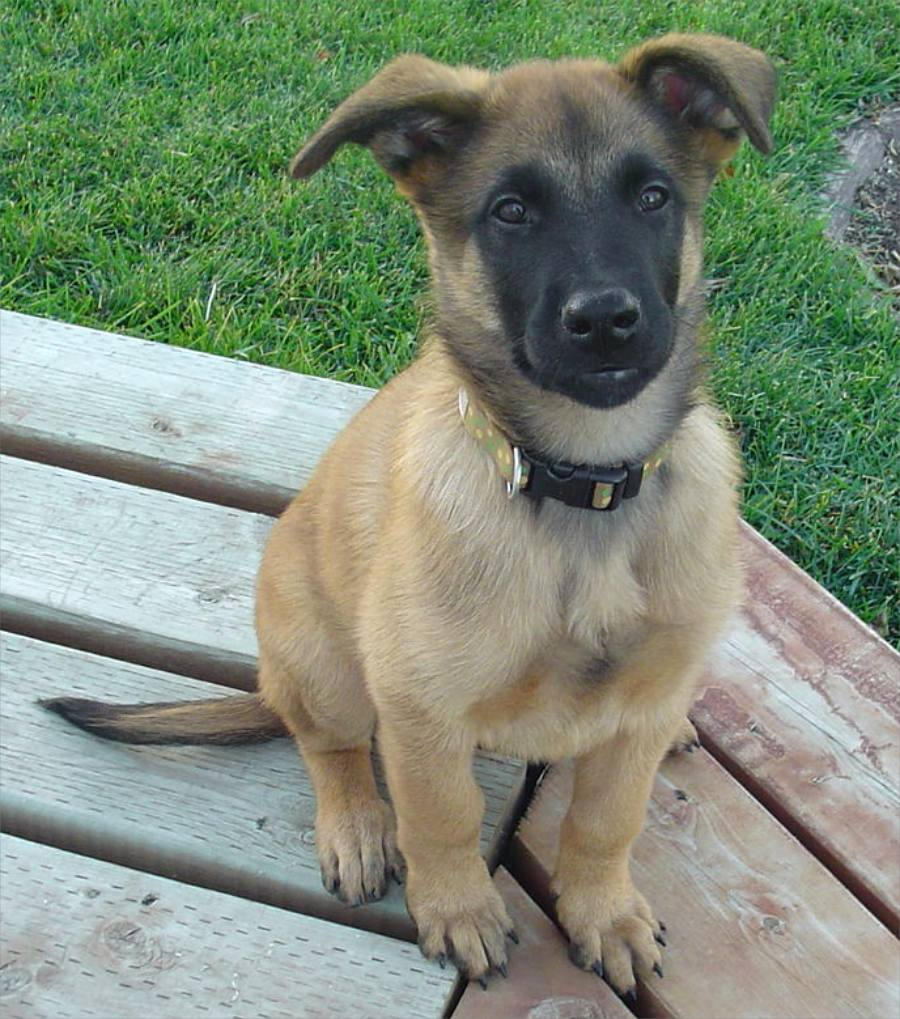 Dog Breed Gallery  Belgian Malinois Large Dog Breeds