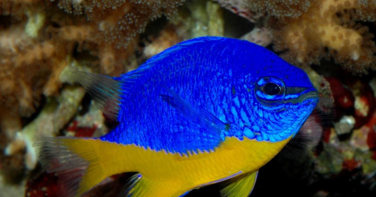 B Y Marine Fish Shop Chrysiptera Hemicyanea Bicolor Damsel