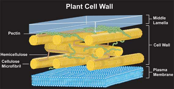 Physics context chemists use nanotechnology to penetrate plant cell breakthrough brings nanotechnology to plant biology and agricultural biotechnology creating a powerful new tool for targeted delivery into plant cells ccuart Image collections