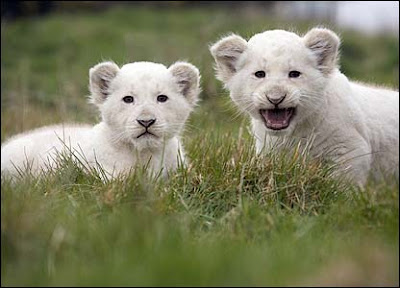 pictures of lions roaring wiki
