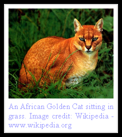 African Golden Cat