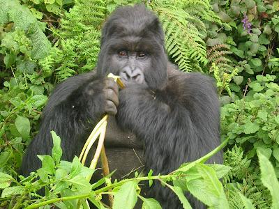 Gorilla+18.jpg