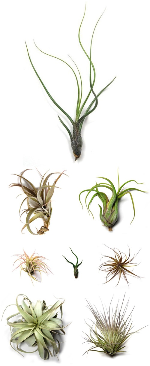 Getting fresh air plants - Plants that dont need soil natures wonders ...