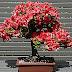 Bonsai - é muito mais que uma pequena árvore