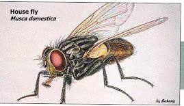 Musca domestica, Lalat Rumah