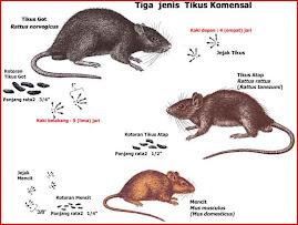 Tiga Jenis Tikus Komensal yang Penting
