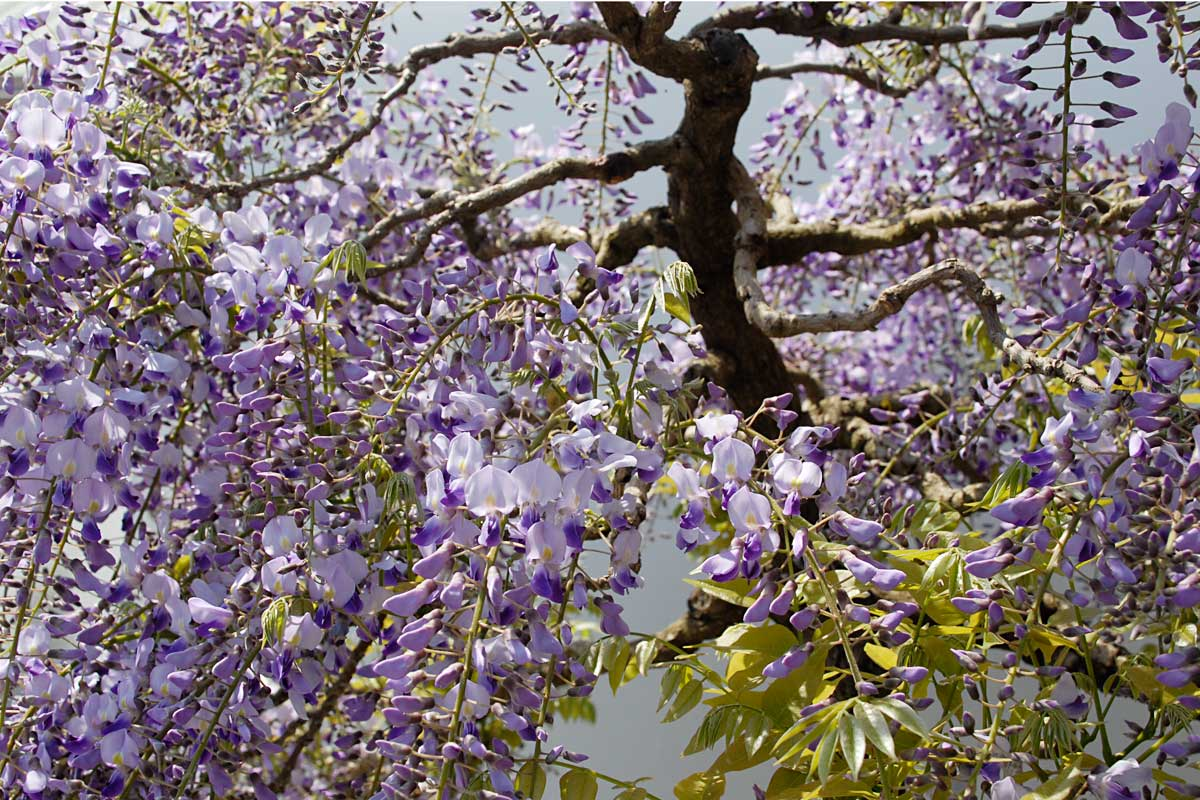 Japanese Wisteria floribunda kuyshaku Bonsai Tree in Bloom 2010