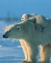 Polarni medvjedica i medvjedić download besplatne slike pozadine za mobitele