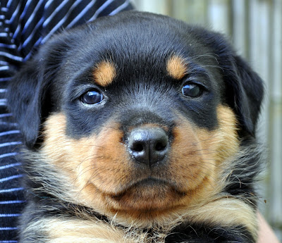 American In Auckland Five Week Old Rottweiler Puppies