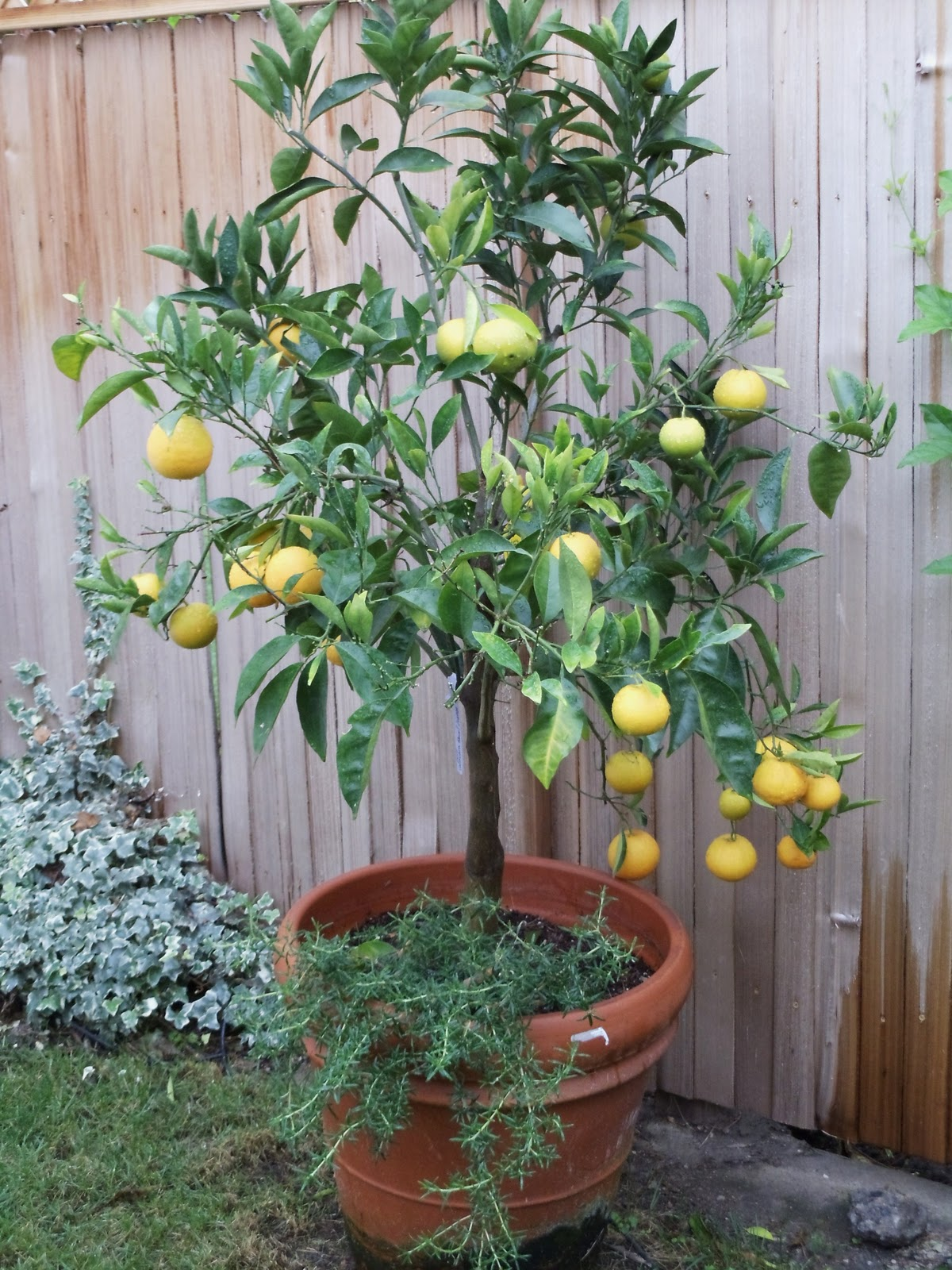 The gallery for potted avocado tree for Potatura limoni in vaso