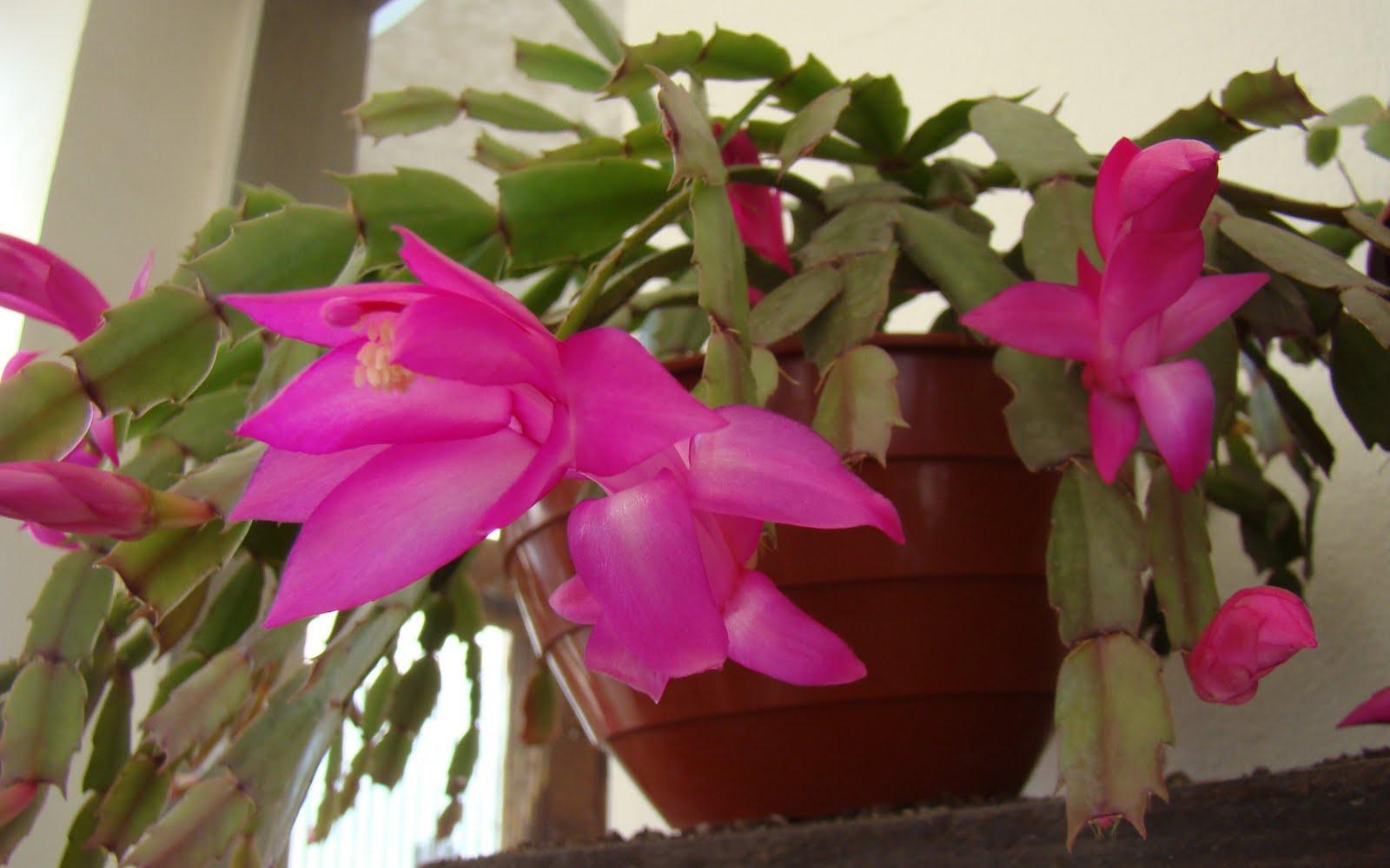 mis plantas my plants santa teresita schlumbergera
