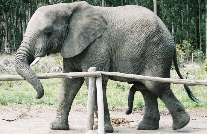 elephant dick Pictures, Images & Photos Photobucket