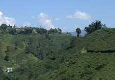 Beautiful Tea Garden Near by Ilam Bazaar
